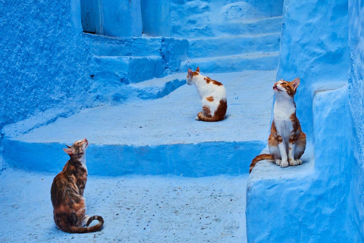 Los gatos observan su entorno en Chefchaouen, Marruecos.