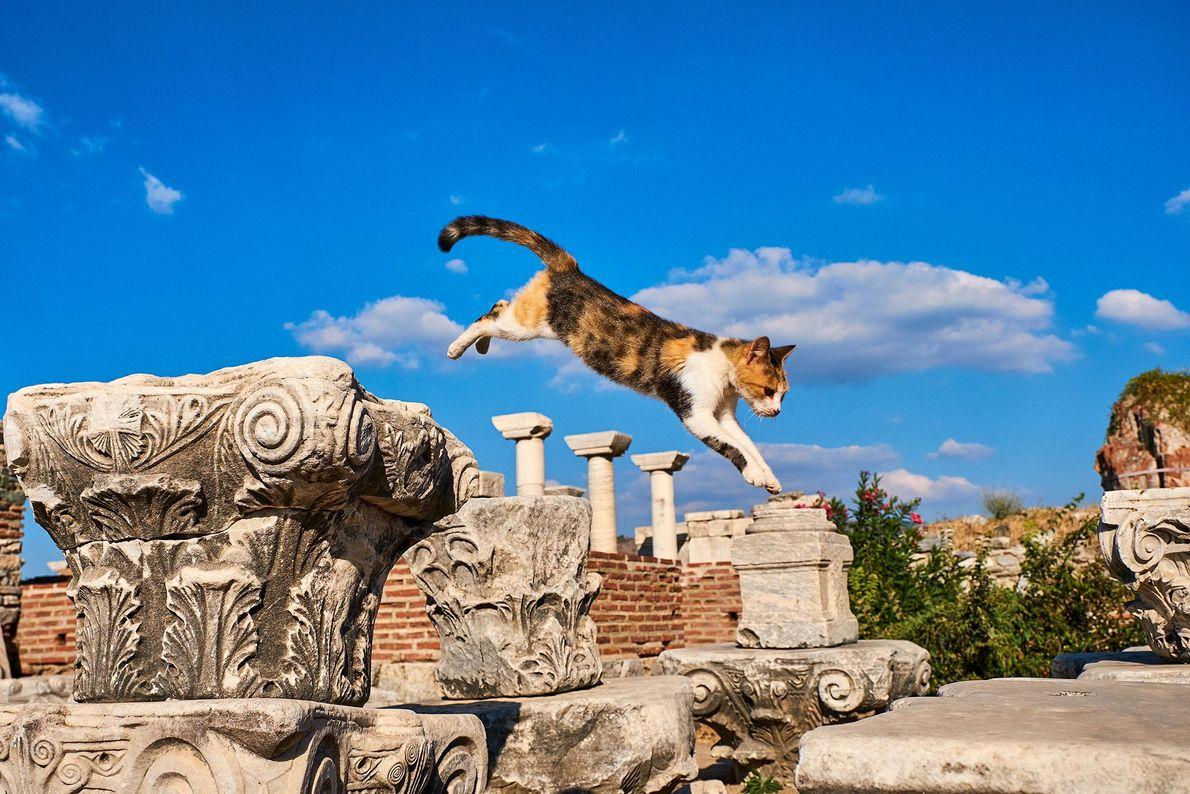 Éfeso, una antigua ciudad portuaria romana, alberga innumerables felinos. Los fotógrafos pillaron a este calicó en ...