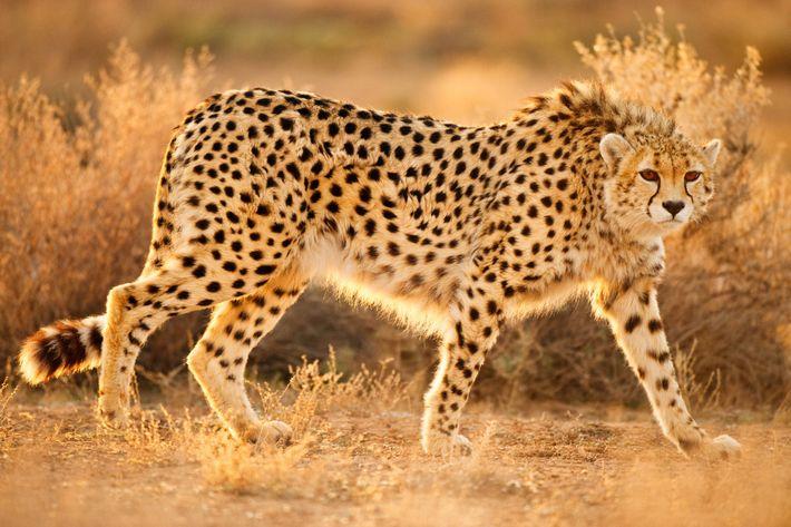 guepardoextincion2