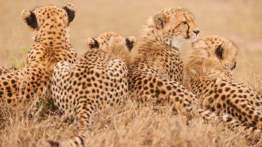 Los guepardos están cerca de la extinción