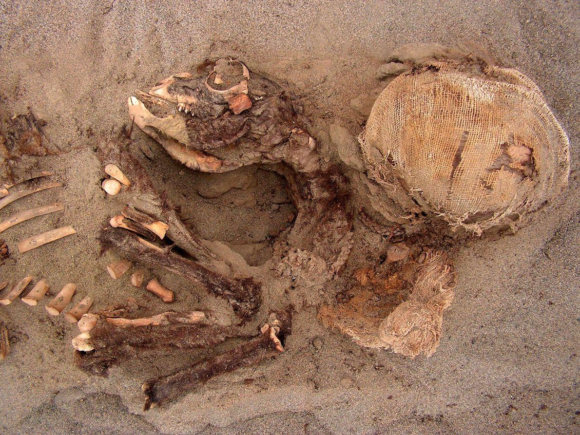 Una joven llama (izquierda) y un niño amortajado fueron enterrados en el mismo pozo: un fenómeno ...
