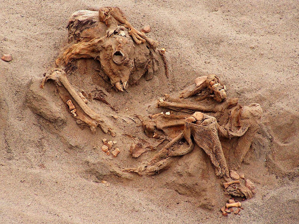Muchas de las 200 llamas sacrificadas están tan bien conservadas que, después de 500 años, los ...