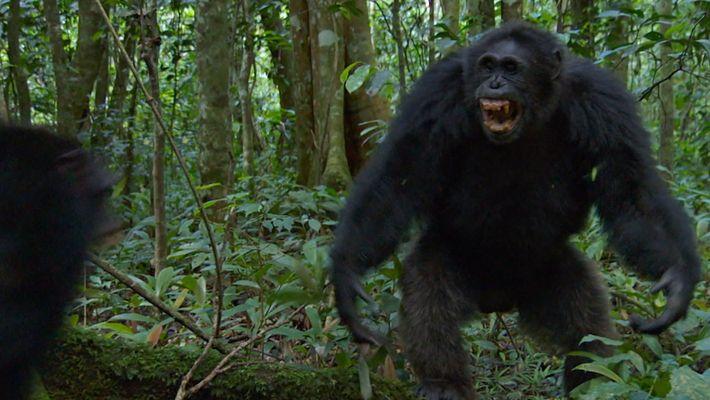 Scar y Freedy: el duelo final | Chimpancés