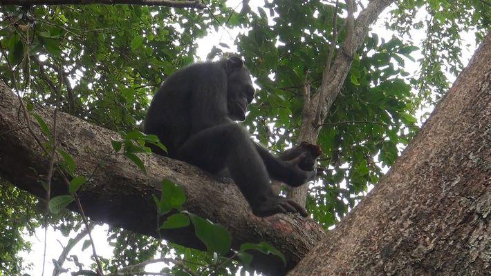 Video nunca antes visto muestra a chimpancés golpeando tortugas para comerlas