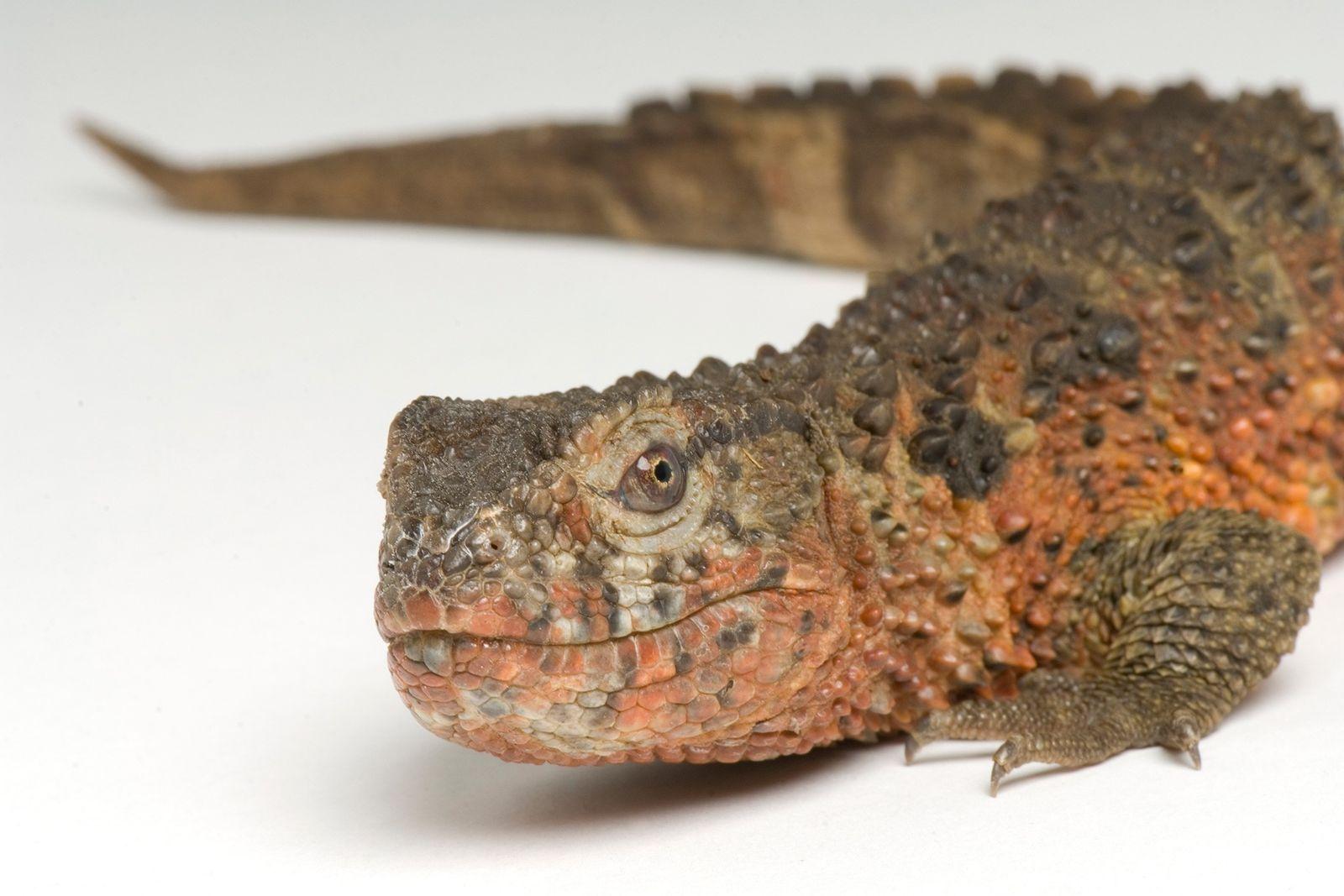 El lagarto cocodrilo chino es la última especie sobreviviente de su género y familia, Shinisauridae, que ...