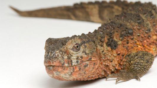 Lagarto cocodrilo chino