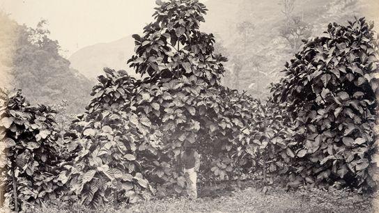 Cinchona succirubra, una variedad del árbol de quina también conocido como Cinchona pubescens, en una plantación ...