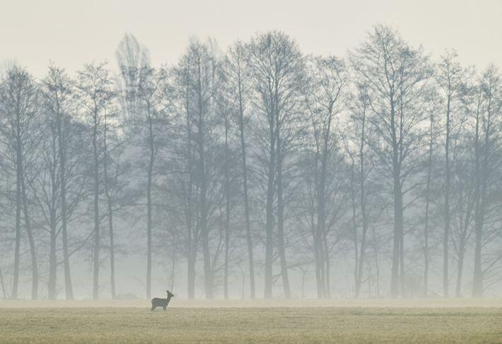 Los ciervos no adelantan su reproducción para que coincida con una primavera más temprana, una respuesta ...
