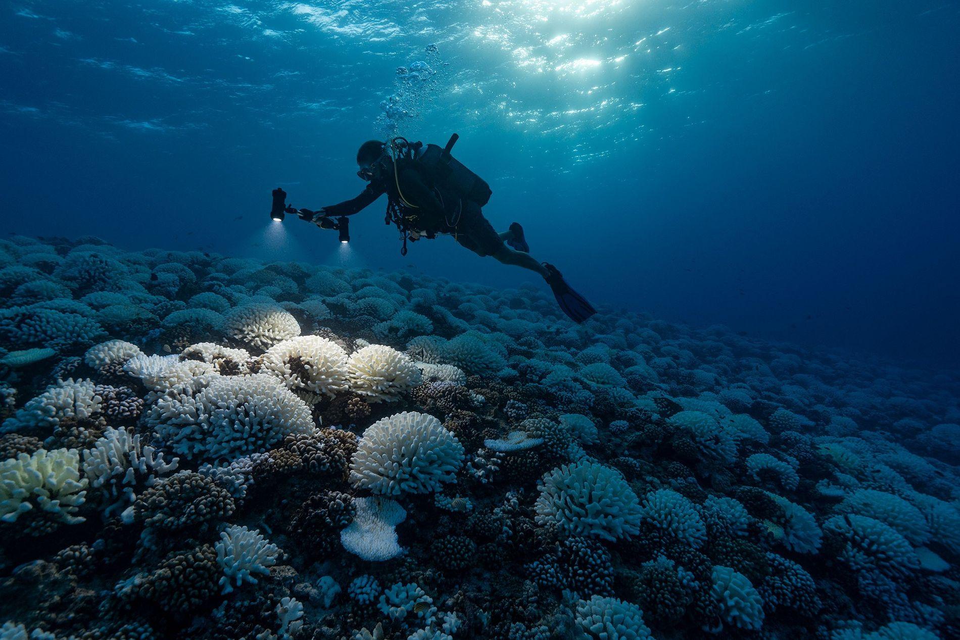 Los océanos y los corales que los habitan están sometidos a un estrés extremo debido al ...