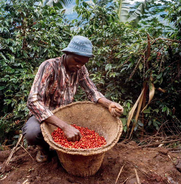 La calidad superior de las cerezas más maduras y rojas alcanza los mejores precios del mercado, ...