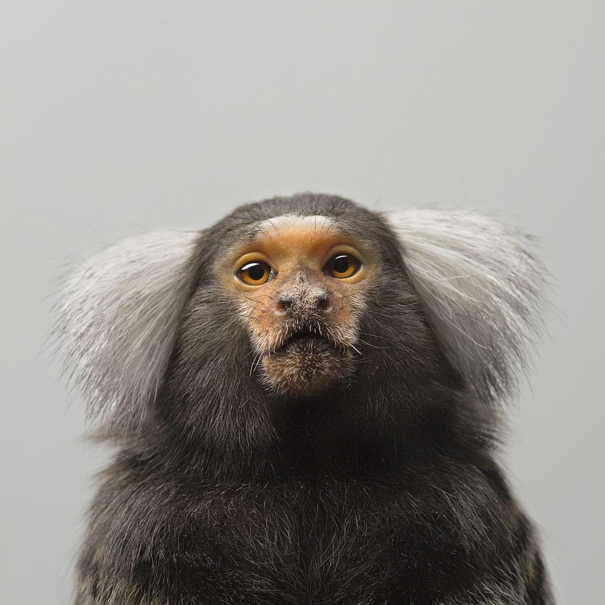 En estado salvaje, los titíes, un tipo de mono de América del Sur, son extremadamente cooperativos. ...