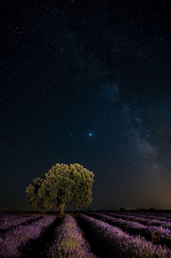 Júpiter y Saturno brillan en una noche despejada de julio sobre un campo de lavanda cerca ...