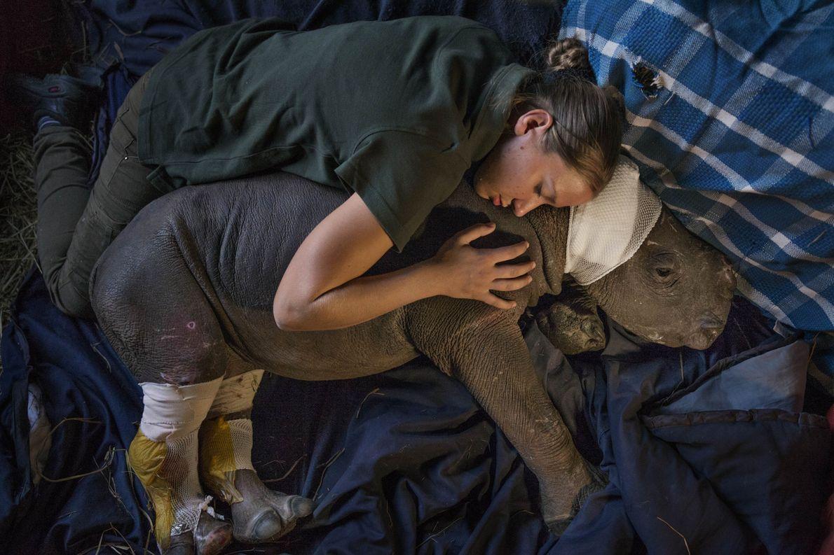 Dorota Ladosz, trabajadora de un santuario en Sudáfrica, consuela a una rinoceronte huérfana llamada Lulah que ...