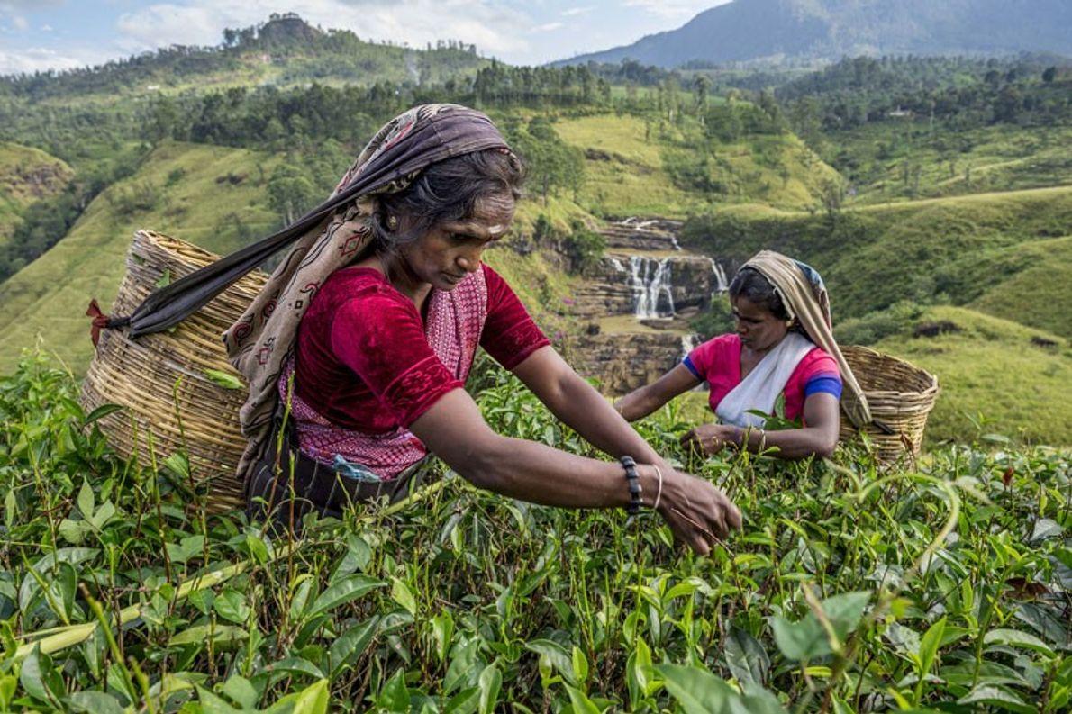 En Sri Lanka las mujeres trabajan la tierra cosechando hojas de té que acarrean en sus ...
