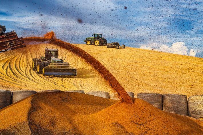 Los tractores llenan una montaña gigante de maíz en un cebadero cerca de Imperial, Nebraska, antes ...