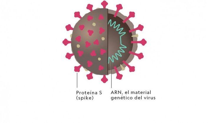 Estructura del coronavirus.