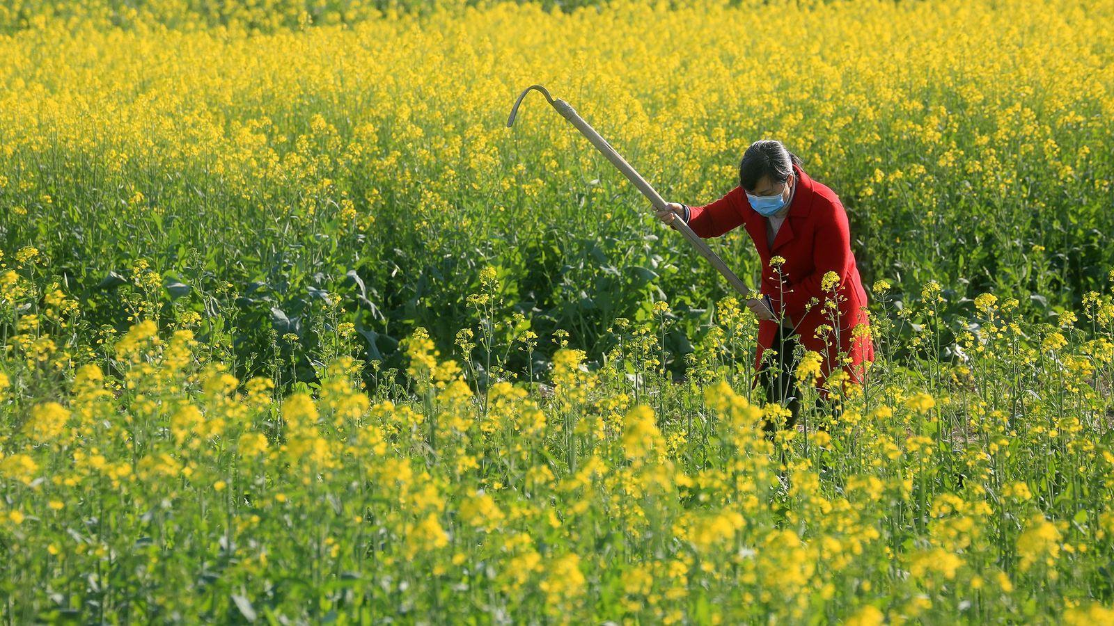 Una aldeana trabaja en un campo en la provincia china de Jiangxi el 18 de febrero ...