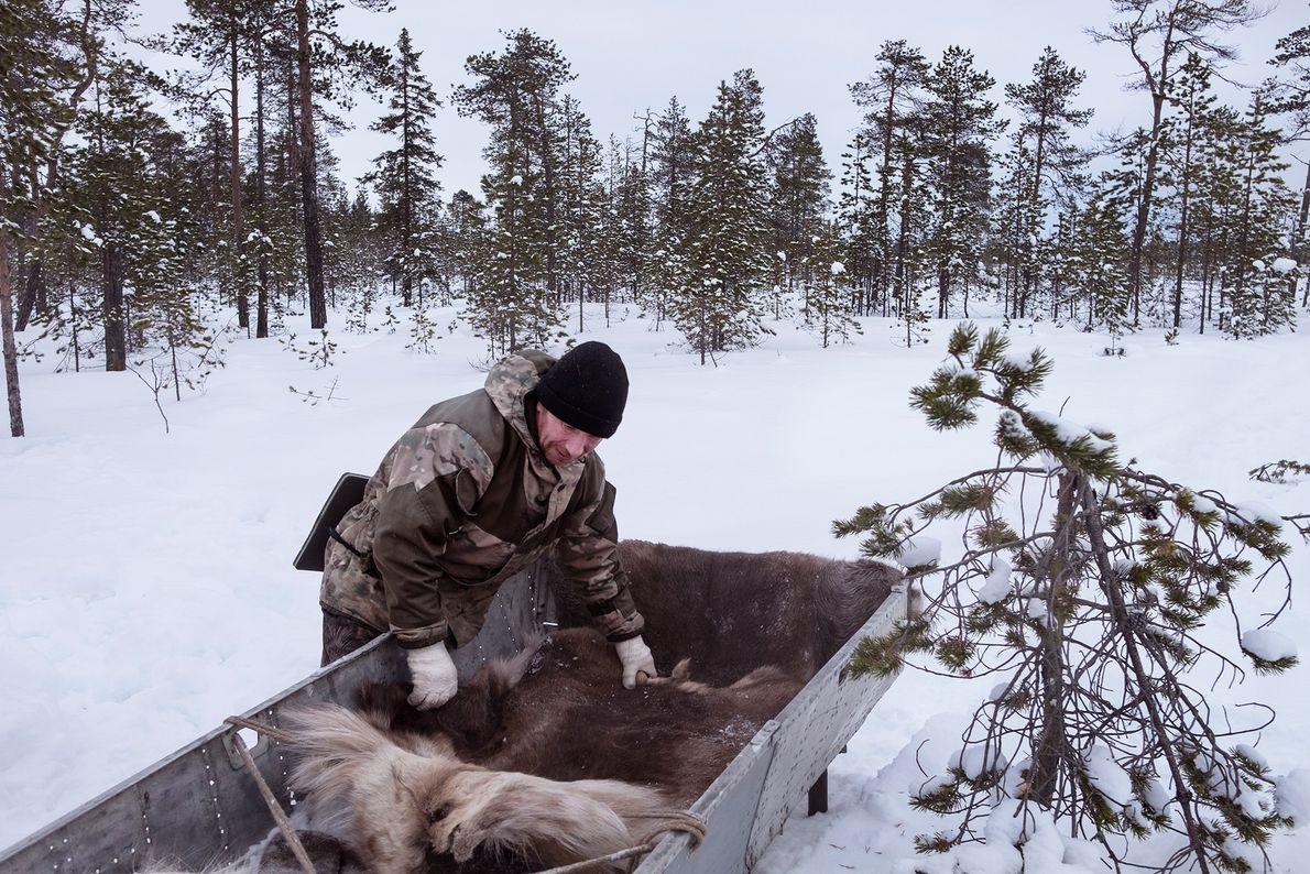 El residente local Pavel Popov extiende pieles de reno sobre un trineo que construyó con partes ...