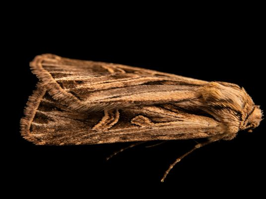 Más de 130 años después de su descubrimiento, esta polilla fue fotografiada viva