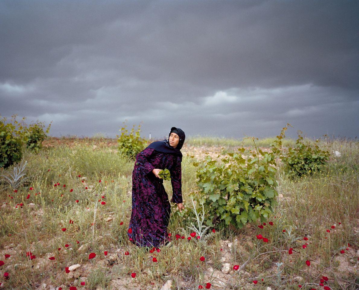 Leyla Sonkuş recoge hojas de uva en la llanura de Harran, en el sur de Turquía, ...