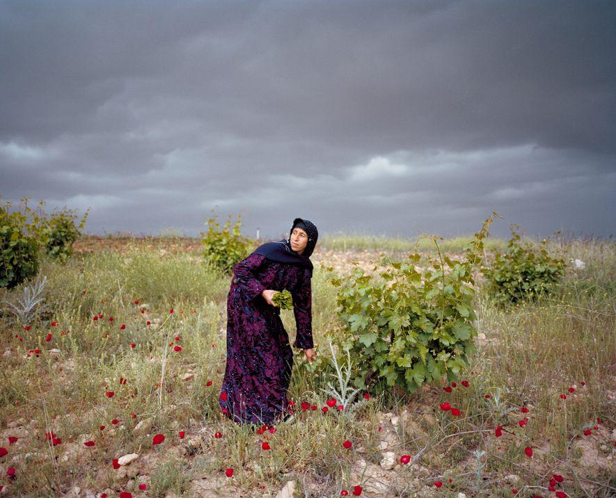 Leyla Sonkuş picks grape leaves on the Plain of Harran in southern Turkey, not far from ...
