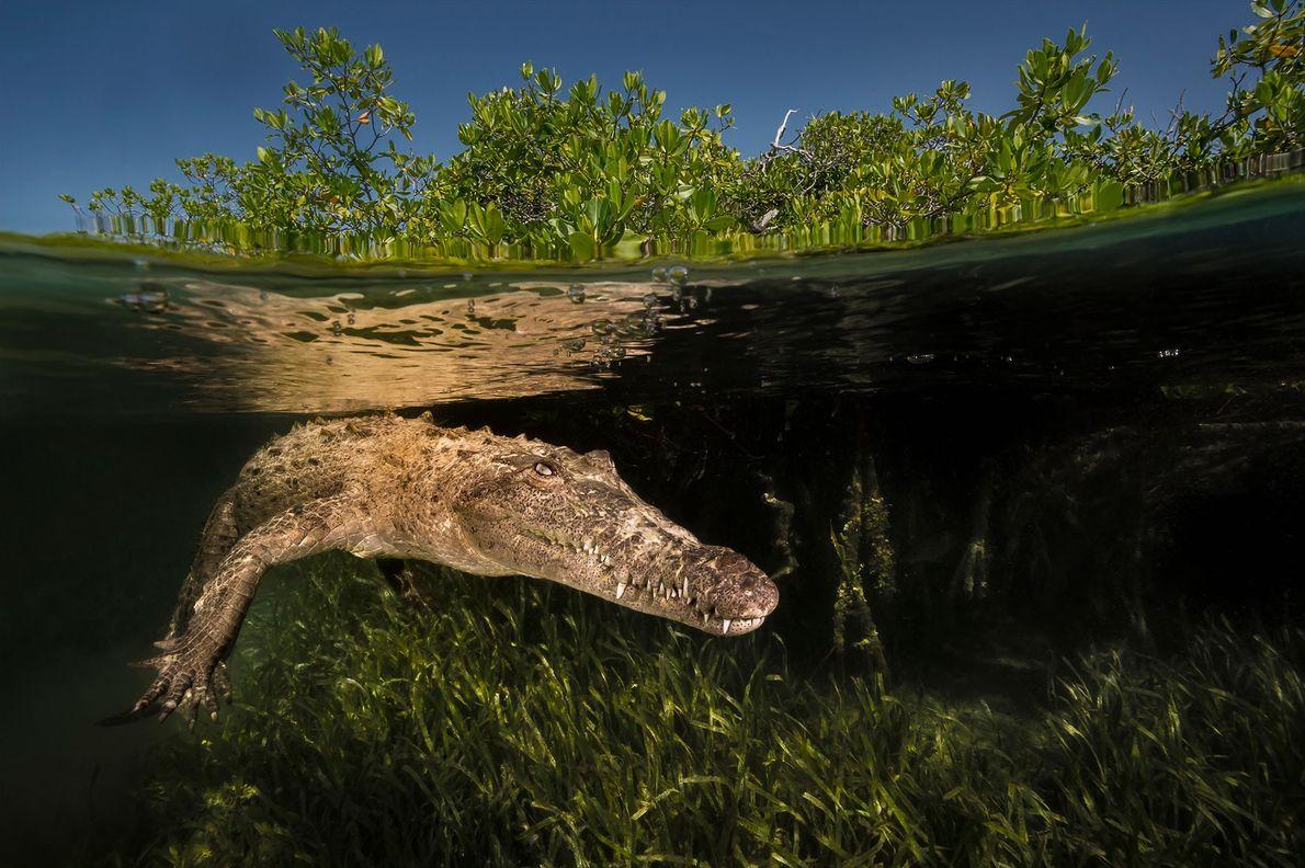 Un cocodrilo americano ronda los canales de manglares del parque nacional de los Jardines de la ...