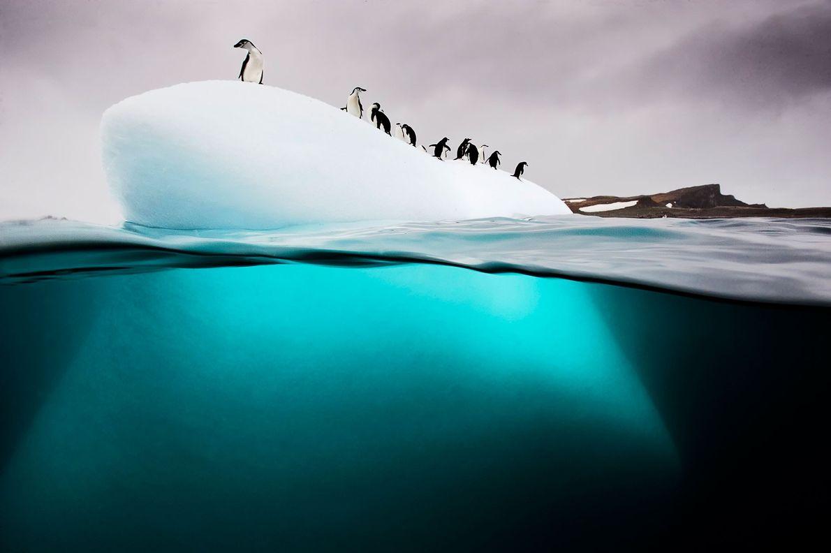 Un grupo de pingüinos juanitos y barbijos descansa en una placa de hielo cerca de la ...