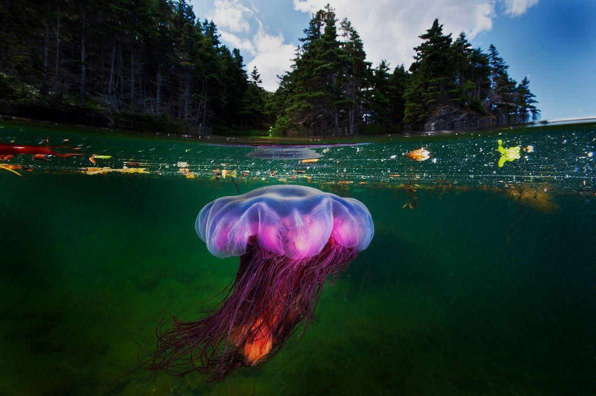 Un bosque de coníferas se eleva sobre una medusa melena de león ártica mientras caza en ...