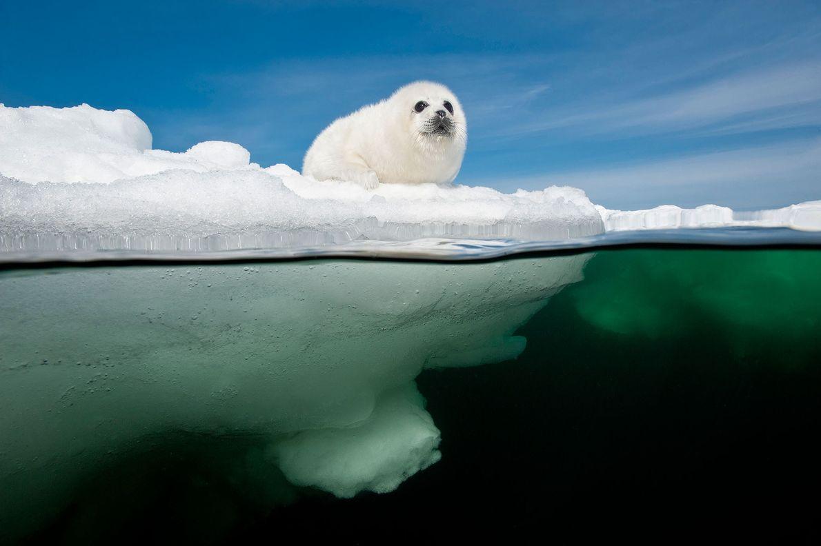 Una cría de foca pía aguarda a que su madre regrese en la banquisa del golfo ...