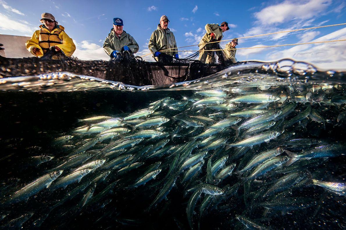 Una tripulación de pescadores colabora para sacar una trampa llena de arenques en el estrecho de ...