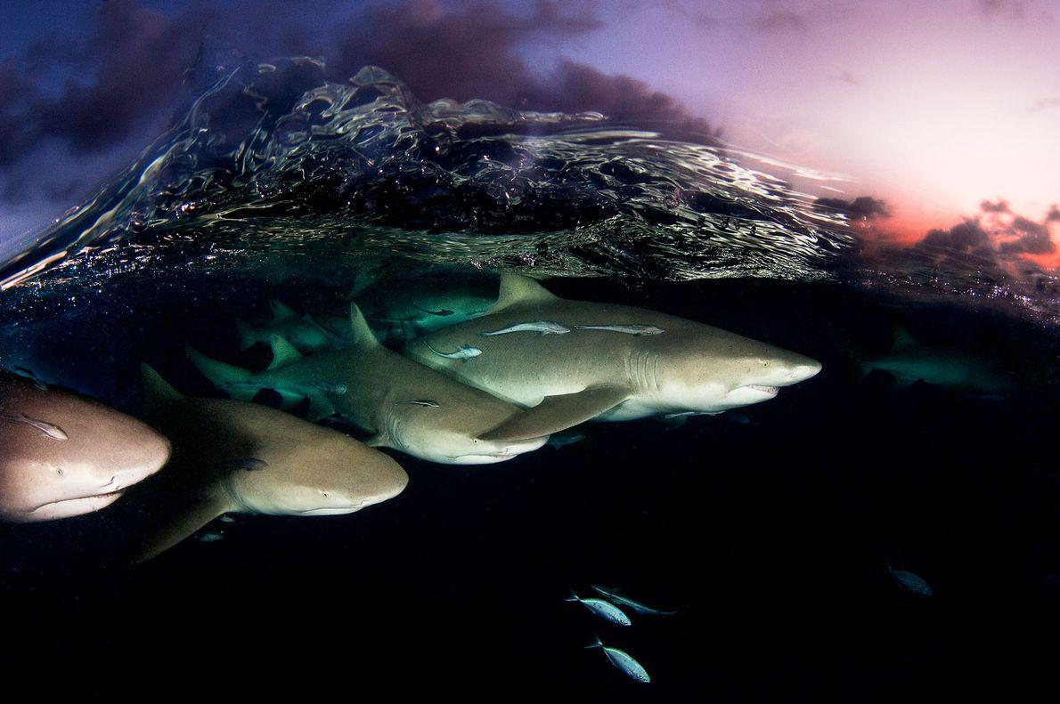 Una ola cristalina rompe sobre un escuadrón de tiburones limón al atardecer en las Bahamas. Las ...