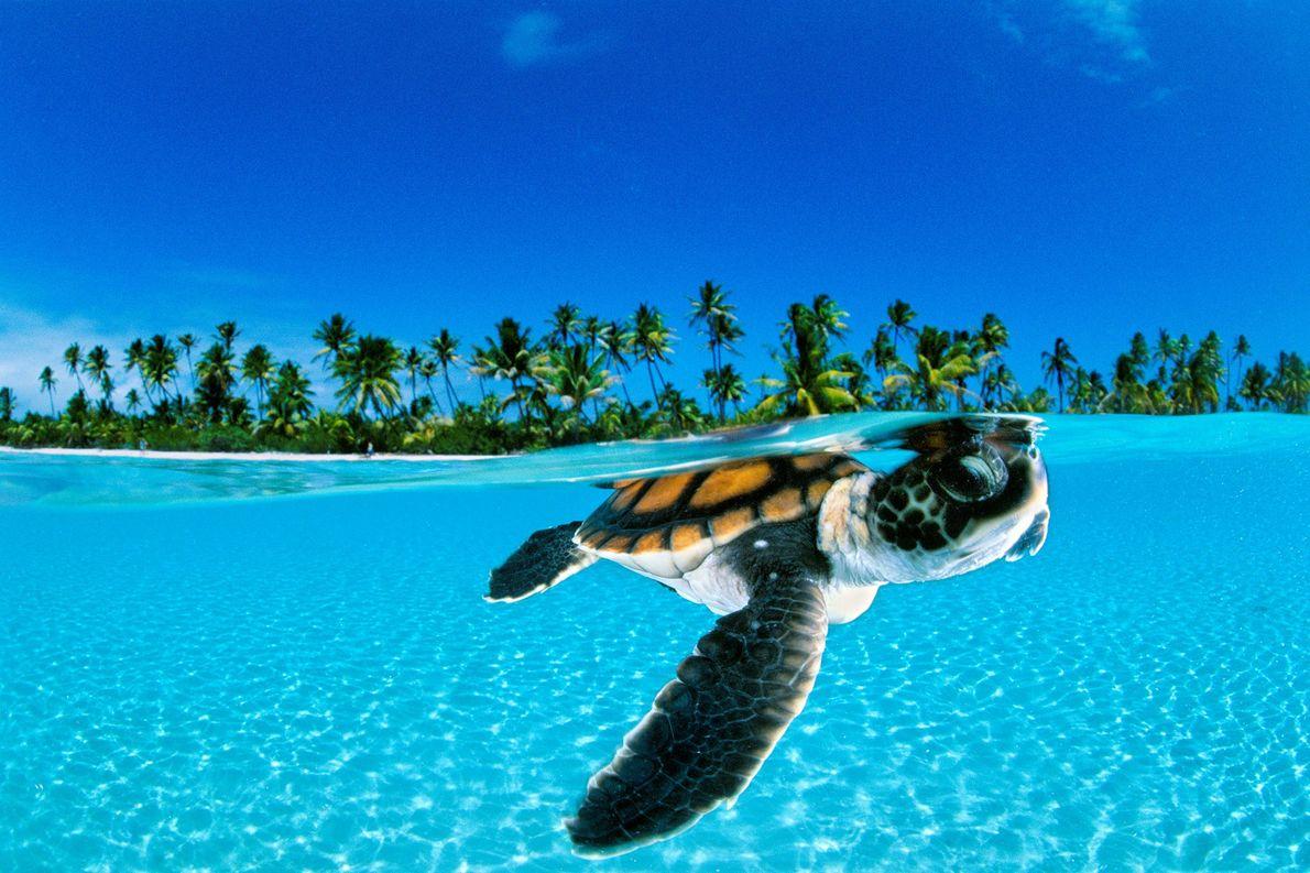 Una cría de tortuga verde nada hacia la seguridad del mar abierto en Nengo Nengo, la ...