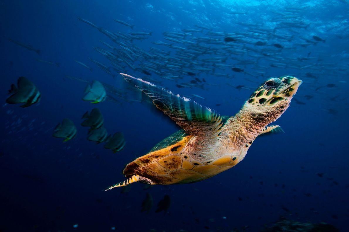 Una tortuga carey nada junto a bancos de peces murciélago y barracudas en la bahía Kimbe, ...