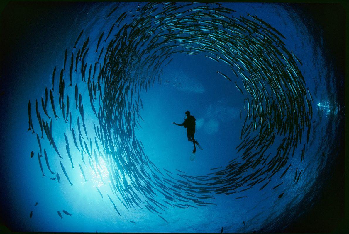 Unas barracudas forman un círculo perfecto alrededor de un buzo, un momento inusual en el mar ...