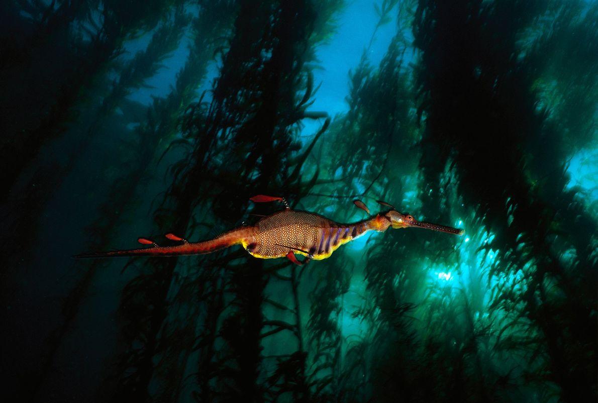 Un dragón de agua nada por un bosque de kelp en las aguas templadas de Tasmania. ...
