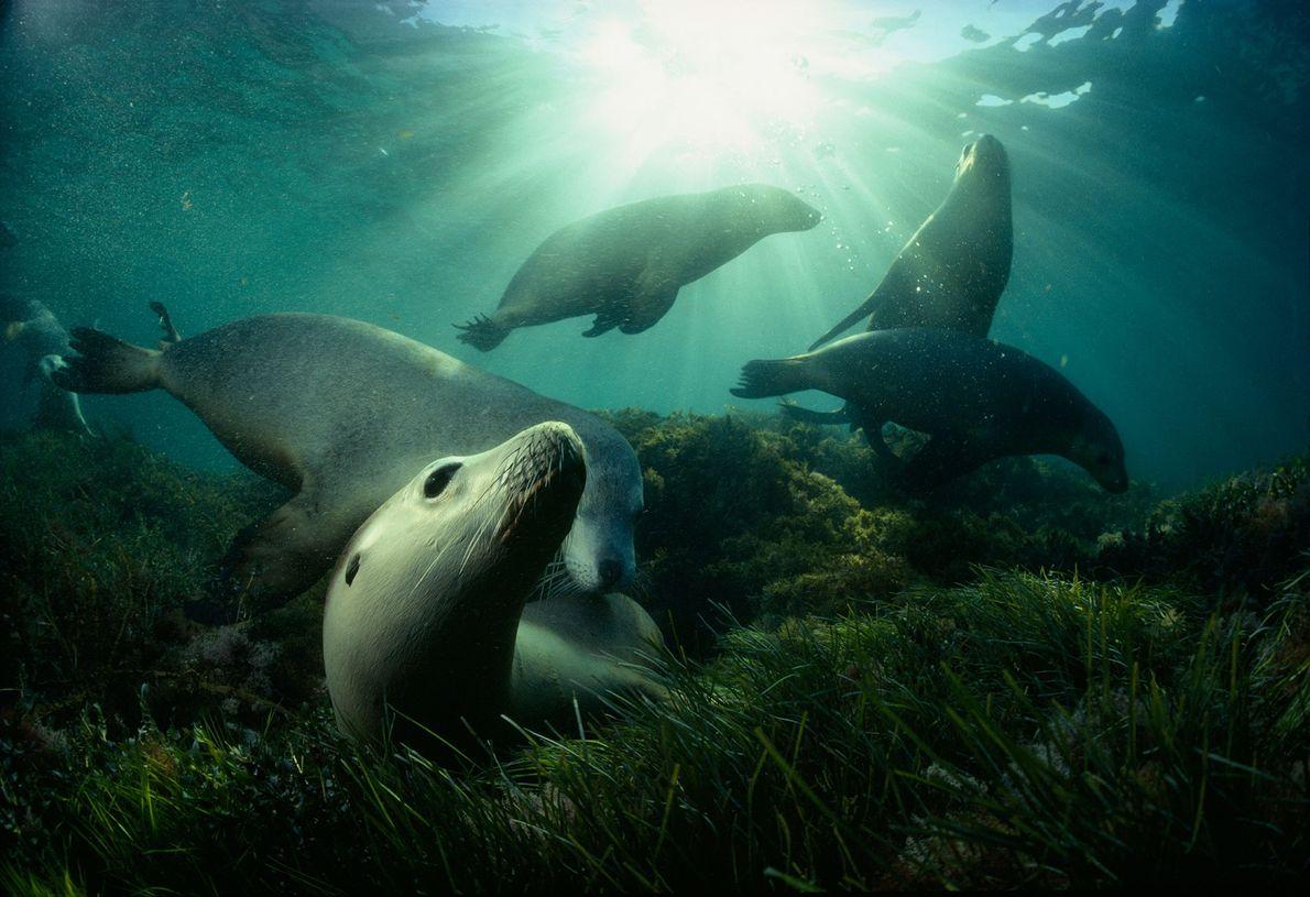 Lobos marinos australianos juegan en una pradera marina cerca de la isla Hopkins en el golfo ...