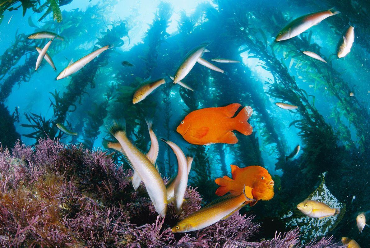 Garibaldis y señoritas de vivos colores se alimentan bajo enormes bosques de kelp en la isla ...