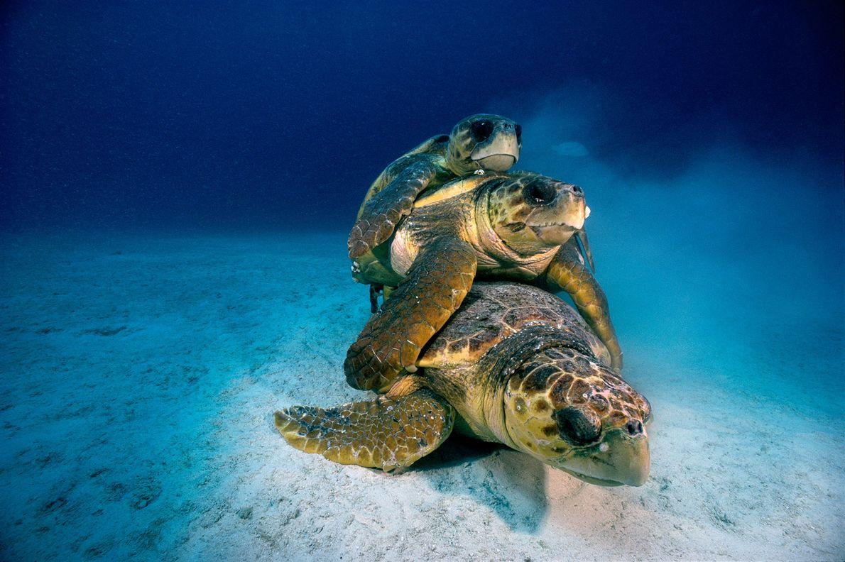 Un trío de tortugas bobas en peligro de extinción se aparea en el lecho marino cerca ...