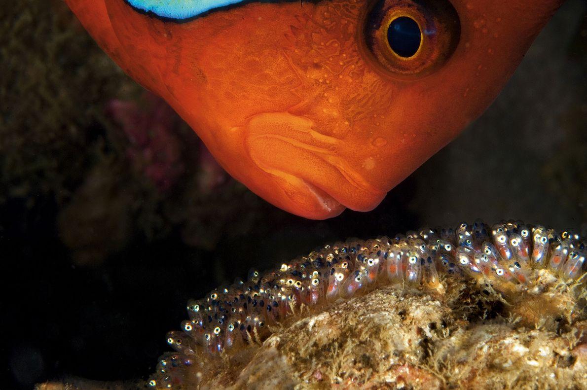 Un pez payaso macho protege de forma agresiva sus huevos en Anilao, Filipinas. Los machos oxigenan ...