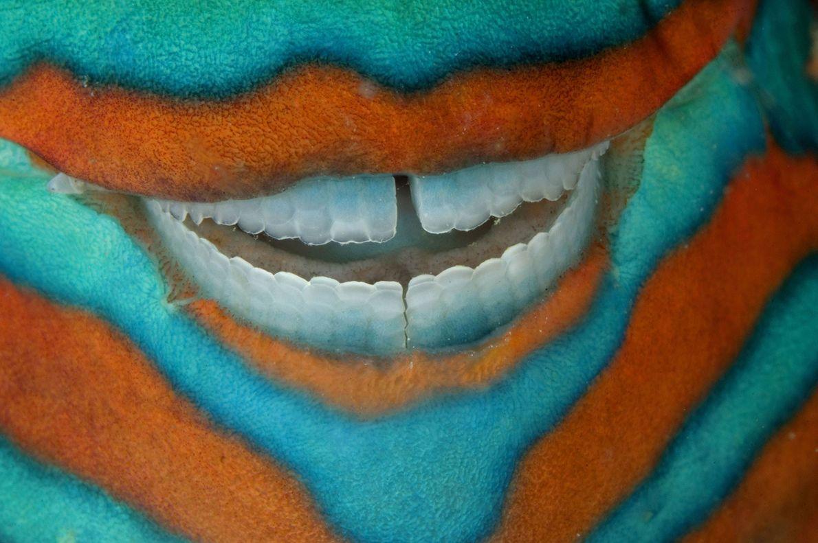 Un pez loro Scarus frenatus exhibe sus dientes casi perfectos mientras duerme bajo un saliente de ...