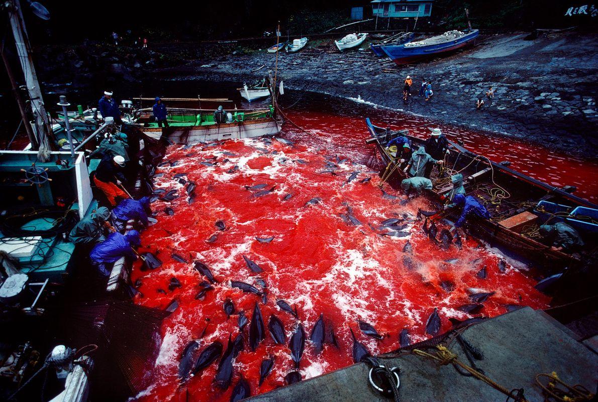 Los pescadores matan sistemáticamente a delfines salvajes a los que conducen por la fuerza al puerto ...