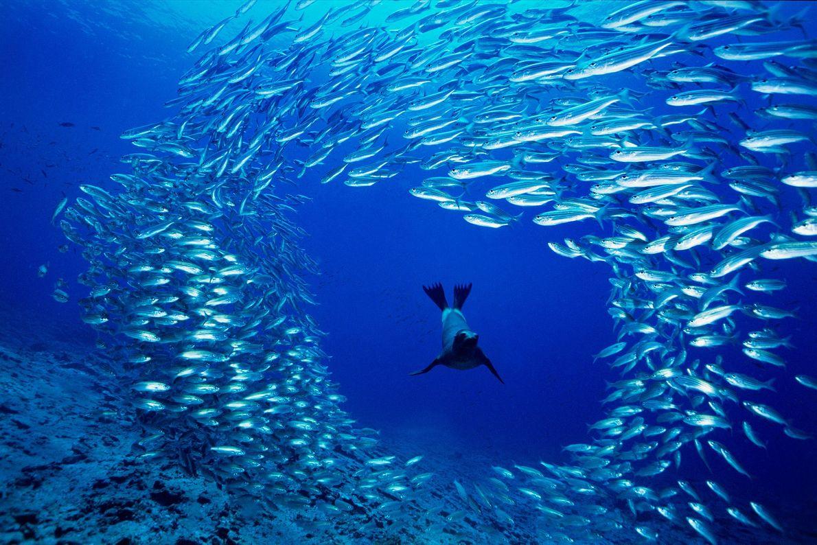 Un joven y hambriento lobo marino de las Galápagos nada entre un banco de salemas en ...