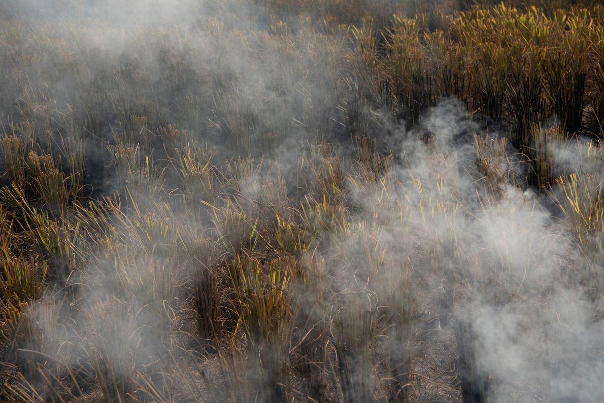 Se prende fuego un campo agrícola para eliminar el rastrojo de los arrozales que se han ...