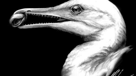 Reconstrucción del ave Ichthyornis basada en los nuevos fósiles encontrados y las imágenes 3D.