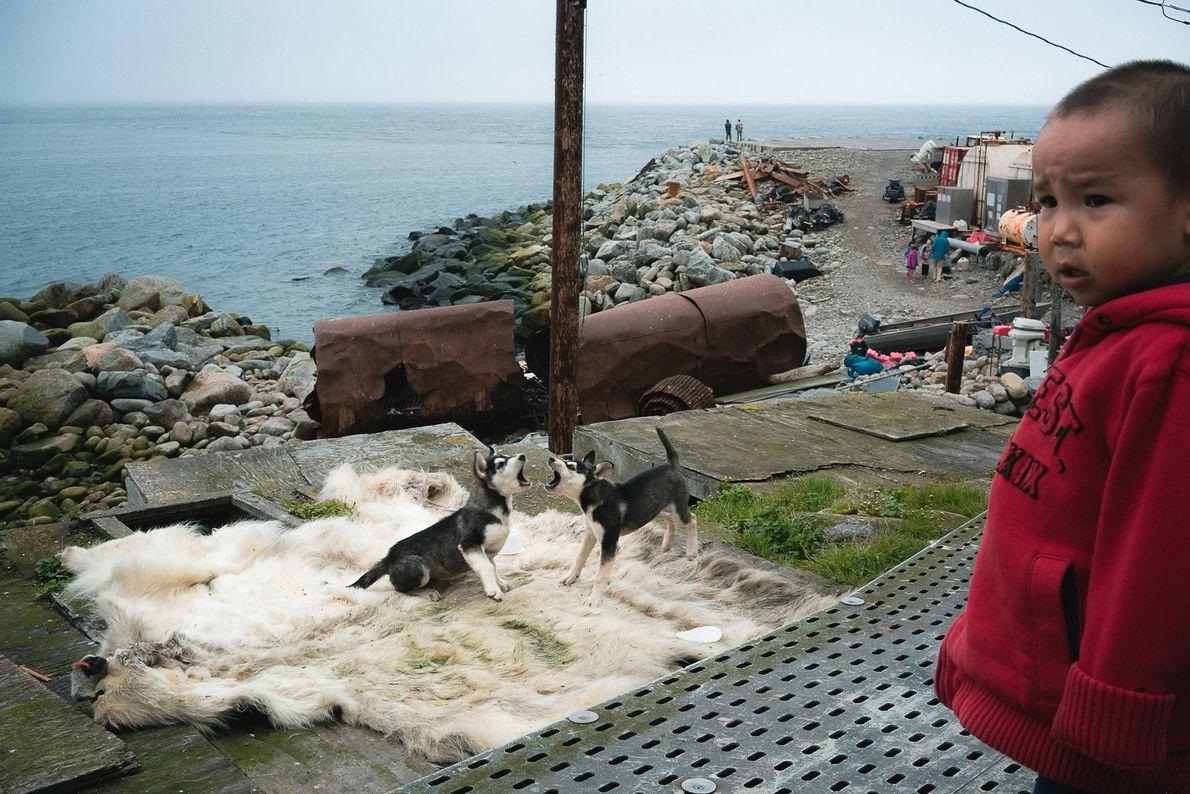 Los perros juegan sobre la piel de un oso polar, al que le dispararon el invierno ...