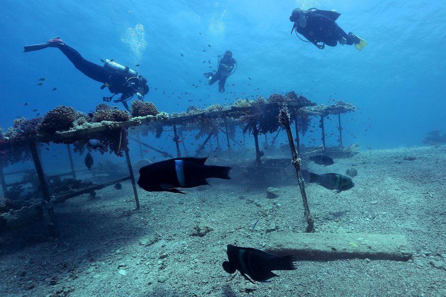 Tras cuatro años cerrados a visitantes, los arrecifes trasplantados muestran señales prometedoras de crecimiento, pero los ...