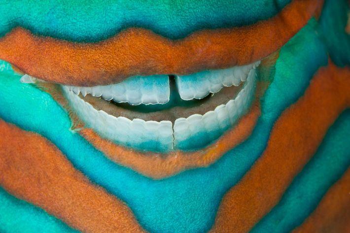 doubilet-Bridled-Parrotfish