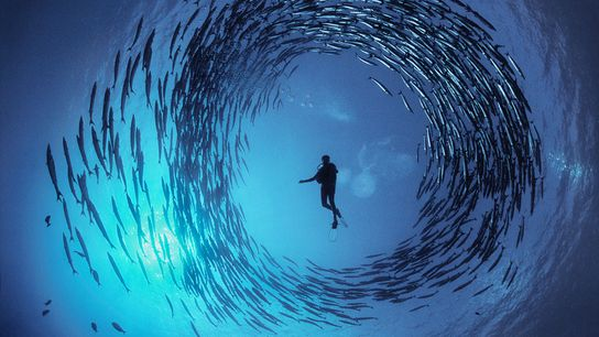 doubilet-Circling-Barracuda