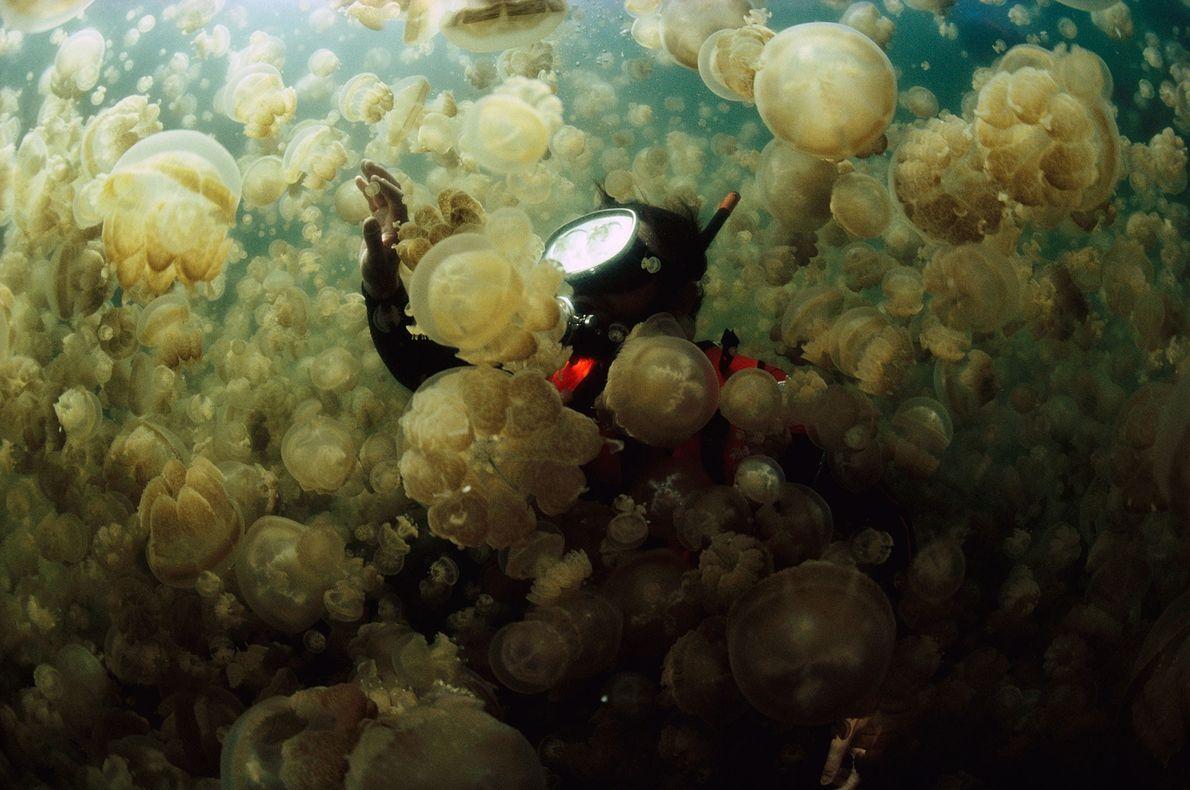 El Dr. William Hamner se eleva en una capa de medusas Mastigias en Jellyfish Lake, un ...
