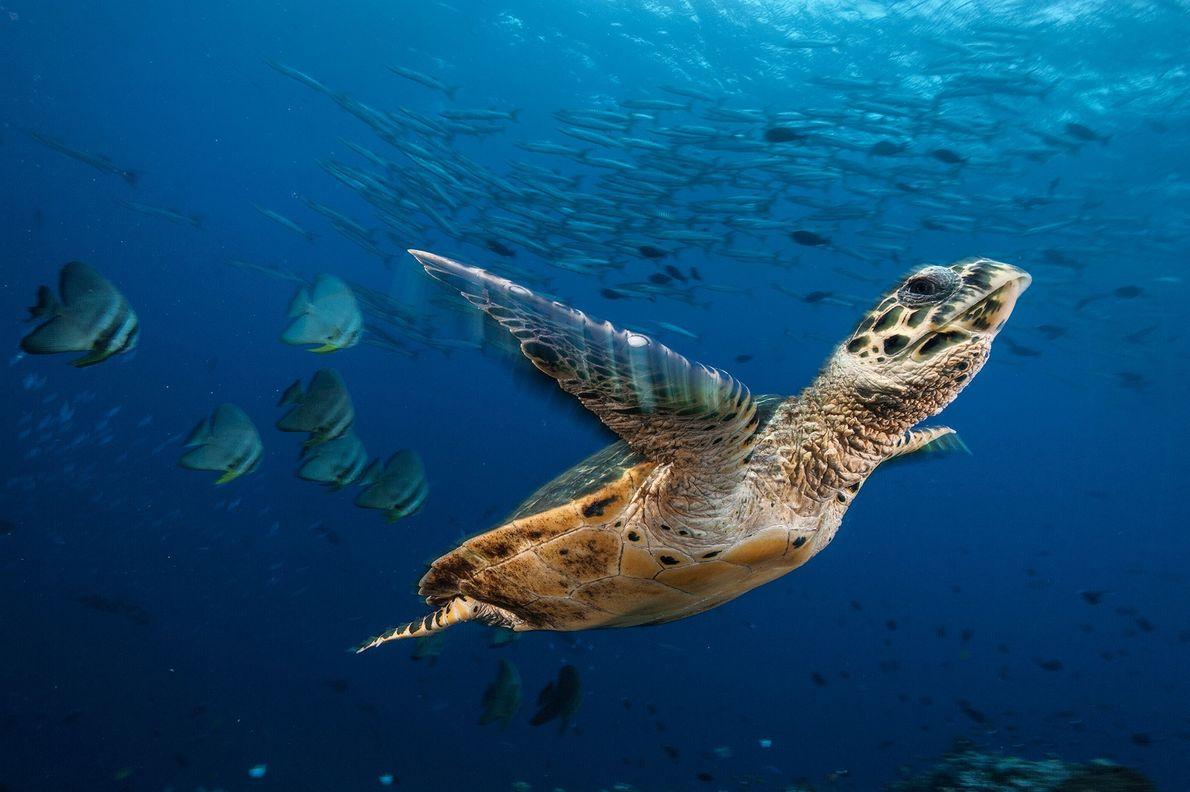 doubilet-sea-turtle